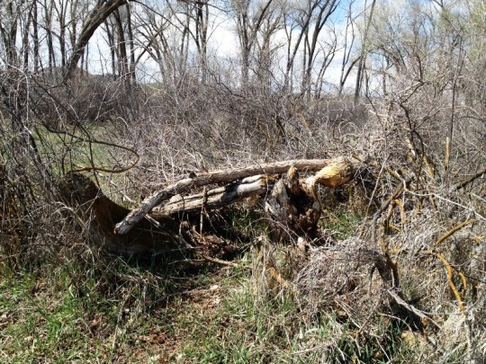 Brush piles like this one off the trail at River Park pose a fire danger and need to be removed
